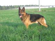 щенка немецкой овчарки