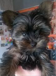 продам щенка йоркширского терьера (девочка)