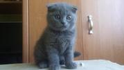 Продам шотландского вислоухого котёнка