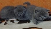Британские короткошерстные котята.